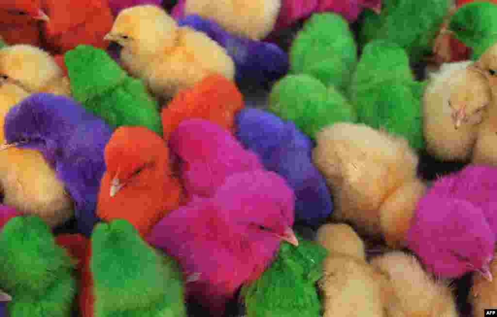 Colored chicks are seen for sale at a roadside stall in the Indian town of Amritsar. Stall-owner Ashok earns approximately 200 INR ($3.28 USD) per day selling chicks.