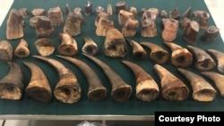 香港海关2019年6月公布检获的犀牛角和犀牛角切件。
