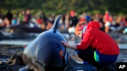 German visitor Lea Stubbe rubs water on a pilot whale that beached itself at the remote Farewell Spit on the tip of the South Island of New Zealand.