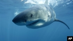FILE - In this undated file photo provided by Discovery Channel, a great white shark swims near Guadalupe Island off the coast of Mexico.