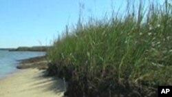 Scientists Struggle to Protect Chesapeake Bay Shoreline