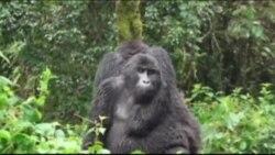 Mnogim primatima prijeti izumiranje
