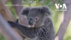 У зоопарку Сан-Дієго відсвяткували перший день народження осиротілої коали. Відео