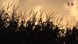 Azad ticarət razılığı: ABŞ fermerlərinin gözləntiləri