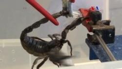 Veneno de escorpión como antibiótico