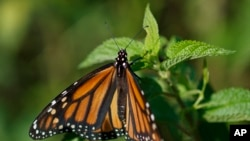A monarch butterfly rests on a plant at Abbott's Mill Nature Center in Milford, Del. Seven environmental and animal protection groups teamed up to file the first lawsuit challenging the Trump administration's rollback of the Endangered Species Act.