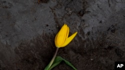 A wilted tulip lies discarded outside a flower farm in Lisse, near Amsterdam, Netherlands, Thursday, March 19, 2020.
