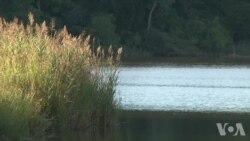 研究人员看到入侵物种芦苇的光明面