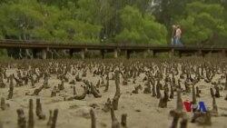 卫星图像显示澳大利亚红树林严重枯死