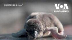 Пінгвінів, що вилупилися в зоопарку міста Честер, назвали на честь видатних працівників сфери охорони здоров'я та лікарень. Відео