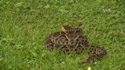 La serpiente más peligrosa de Centro América