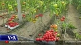 Probleme të kultivuesve të domates në Berat dhe Fier