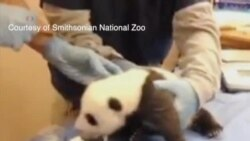 政府开门 华盛顿大熊猫幼仔重新亮相