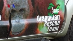 Orangutan Rescue from Borneo Forest Fires