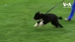 Собака Бо Обама помер після боротьби із раком. Відео