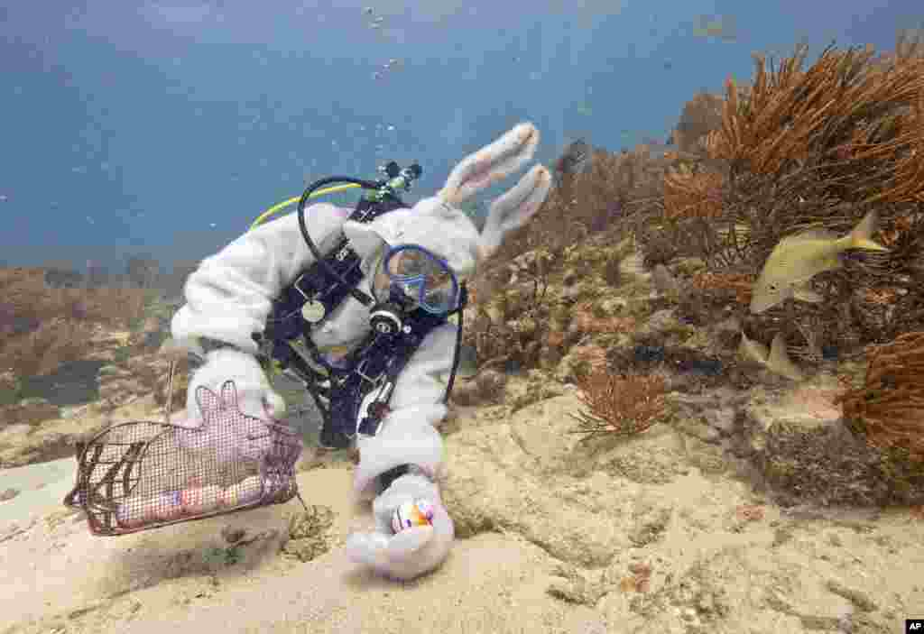 Spencer Slate, garbed as a scuba-diving Easter bunny, places hard-boiled eggs on the sea floor 2014, in the Florida Keys National Marine Sanctuary off Key Largo, Florida, April 18, 2014.