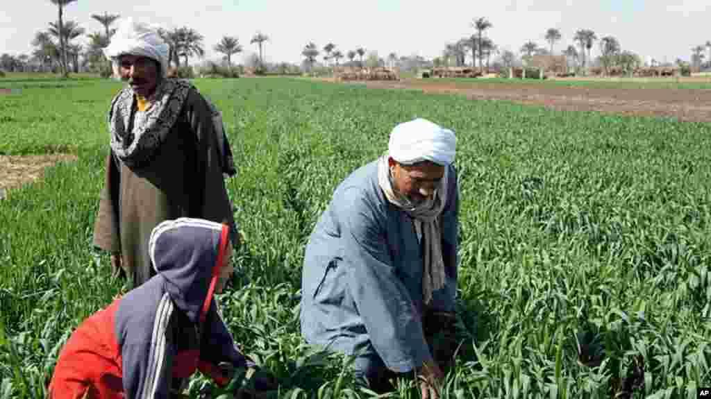 The Nile has allowed agriculture to flourish for millenia, but a farmer's life remains hard . Near Kafr Torky, February 13, 2011 (VOA photo - E. Arrott)