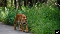 FILE - A Bengal tiger walks along a road in the jungles of Bannerghatta National Park, 25 kilometers (16 miles) south of Bangalore, India, July 29, 2015.