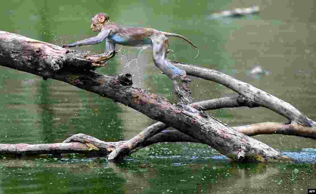 A monkey leaps along the branches of a tree in a pond on a hot day in Allahabad, India.