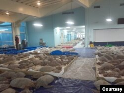 Thousands of cold-stunned sea turtles are being rescued in South Padre Island, Texas. (Photo courtesy of Sea Turtle Inc.)