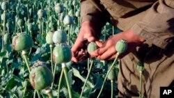 افغانستان بزرگترین تولید کنندۀ تریاک در جهان است