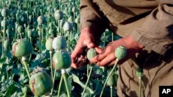 کشت خشخاش - عکس از آرشیو