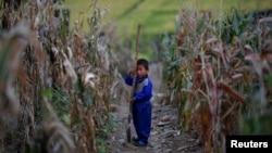 지난 2011년 9월 북한 황해남도 속사리에서 수해를 입은 옥수수밭.