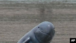 The critically endangered Mekong River Irrawaddy dolphin.