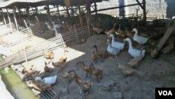 Peternakan itik di kabupaten Blitar, Jawa Timur. (VOA/Petrus Riski)