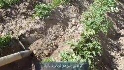 بامیان نصف کچالوی افغانستان را مهیا میکند
