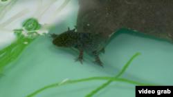 "Laboratorium upaya pelestarian ""Axolotl Mexico"" sejenis salamander besar, di wilayah perairan Xochimilco, Mexico City. (Foto: AP/videograb)"