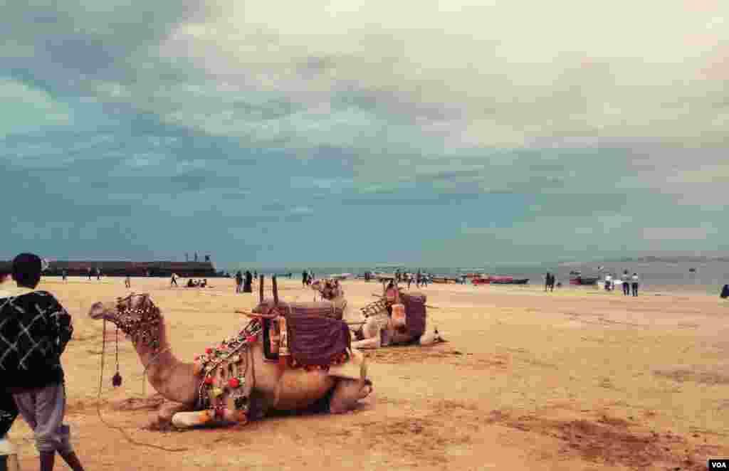نمایش شترها در ساحل جزیره قشم عکس: نوید ازادبخت (ارسالی شما)