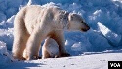 En los próximos 40 años los osos polares podrían ver su población disminuida en un 30 por ciento debido a la pérdida de su hábitat.