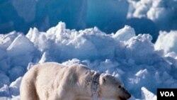 Un oso polar y su cría caminando sobre el hielo en Alaska.