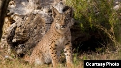 An Iberian Lynx. Mature cats numbered just 52 in 2002. (Credit: IUCN)