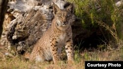 Much progress has been made to save the Iberian Lynx. Mature cats numbered just 52 in 2002. (Credit: IUCN)
