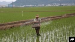 지난달 13일 북한 사리원에서 농부가 논에 비료를 뿌리고 있다.
