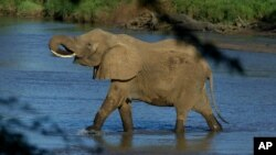 FILE - An elephant crosses a river in Samburu national park in Kenya, Jan. 29, 2003.