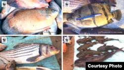 ត្រីសំខាន់ៗដូចជា ត្រីគល់រាំង និងត្រីត្រសក់ក្រហមនៅកម្ពុជា ដែលជាអម្បូរត្រីជិតផុតពូជ ត្រូវបានគេបន្តដាក់លក់នៅទីផ្សារ និងនាំចេញទៅក្រៅប្រទេស។ (រូបថតដោយ WWF-Cambodia)