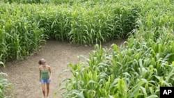 A corn maze in Rhode Island