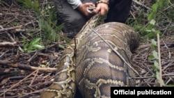 Burmese Python ေခၚ ျမန္မာ့စပါးအံုးေျမြ (Conservancy of Southwest Florida)