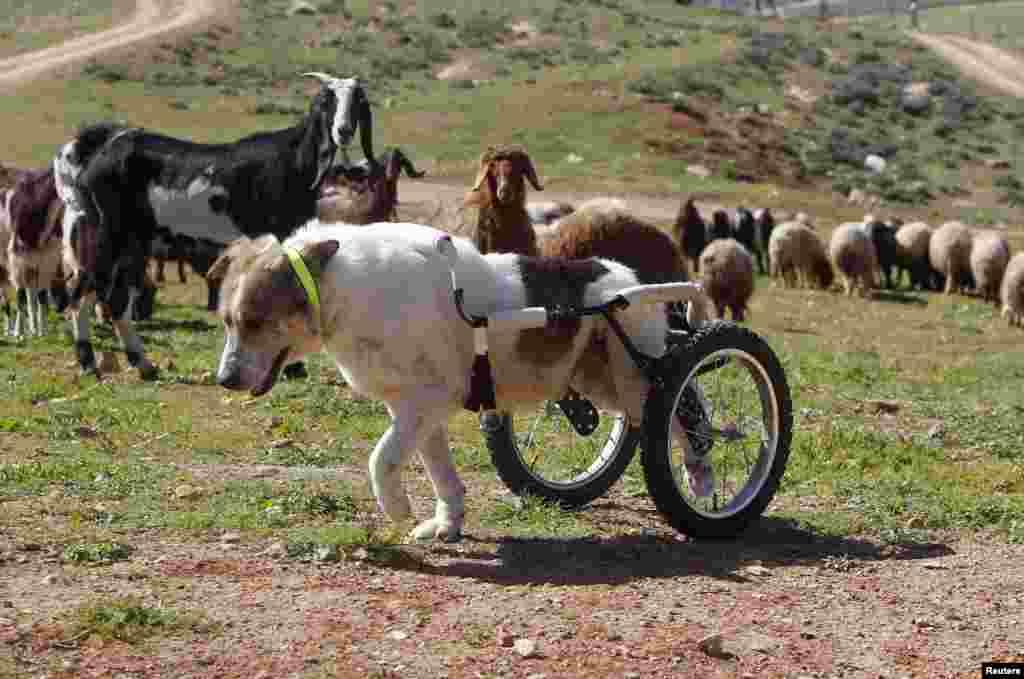 """一头使用特别制作的轮式行走援助器的牧羊犬在约旦首都安曼附近的一个动物福利人文中心外面走动。这头被子弹击中脊椎而瘫痪的名为""""白色""""的狗,两年前被送往医院接受治疗。"""