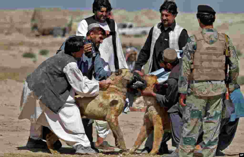 سگ جنگی در افغانستان علاقمندان زیادی دارد