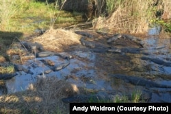 A congregation of alligators rests on a bank along the Anhinga Trail.
