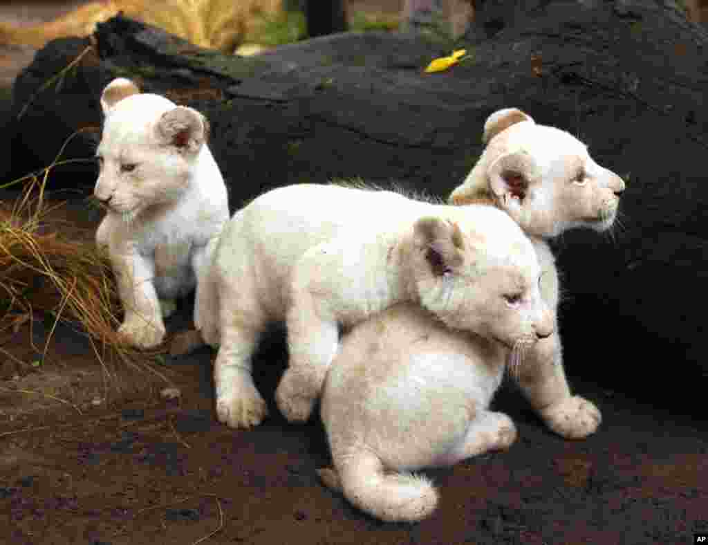 Jan. 5:Three one-month-old white lion cubs are seen in their enclosure at the Buenos Aires zoo. (Enrique Marcarian/Reuters)