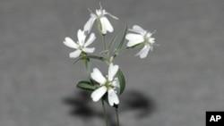 據俄羅斯並無透露日期的照片顯示據稱史前剪秋羅屬植物的外觀