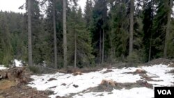 Krčenje šume na Kopaoniku (Foto: Društvo za posmatranje ptica Srbije)