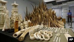 In this May 15, 2014 file photo, confiscated ivory is displayed at a chemical waste treatment center in Hong Kong. The London-based Environmental Investigation Agency said Thursday, Nov. 6, 2014 Chinese officials used a state trip by Chinese President Xi Jinping and other high-level visits to smuggle ivory out of Tanzania. In a report the environmental watchdog says Chinese-led criminal gangs conspired with corrupt Tanzanian officials to traffic huge amounts of ivory, some of which was loaded in diplomatic bags on Xi's plane during a presidential visit in March 2013. (AP Photo/Kin Cheung, File)