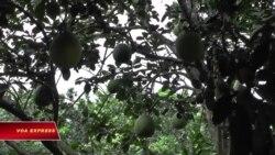 Miệt vườn mùa trái cây Tết