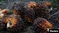 Palm oil fruits are pictured at a plantation in Chisec, Guatemala, December 2018. Palm oil is a big export for Guatemala, but some people worry that the industry is causing people to migrate from Guatemala.